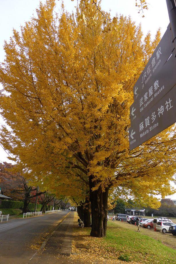 icho_sakura1120.jpg
